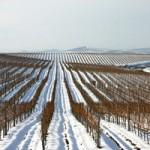 Bovin vynuogynas žiemą