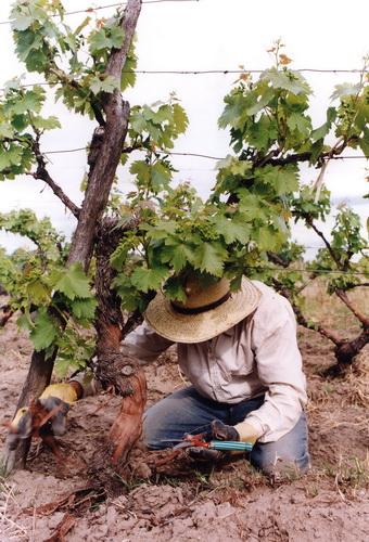 Darbas vynuogyne